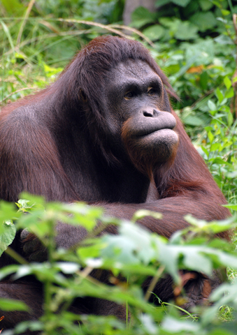 Orangutan, copyright www.stockfreeimages.com